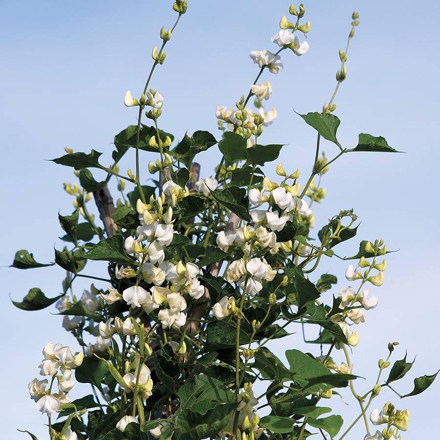 'Silver Moon' White Hyacinth Bean Seeds Image