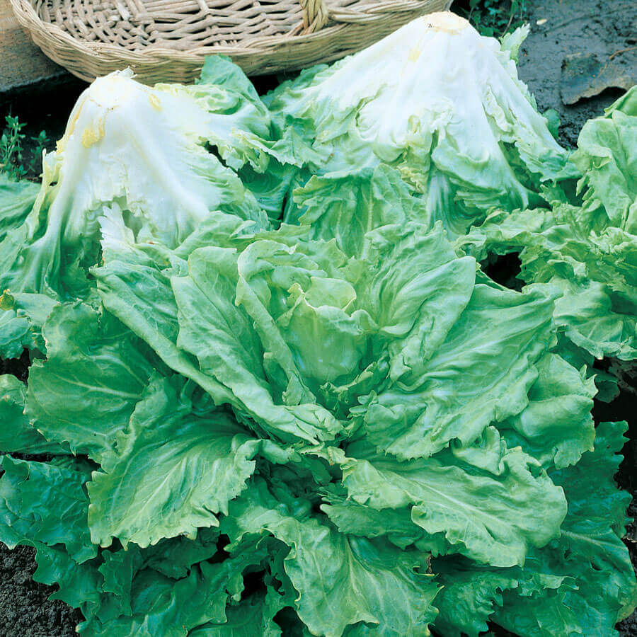 Batavian Full Heart Endive & Chicory Mix Seeds Image