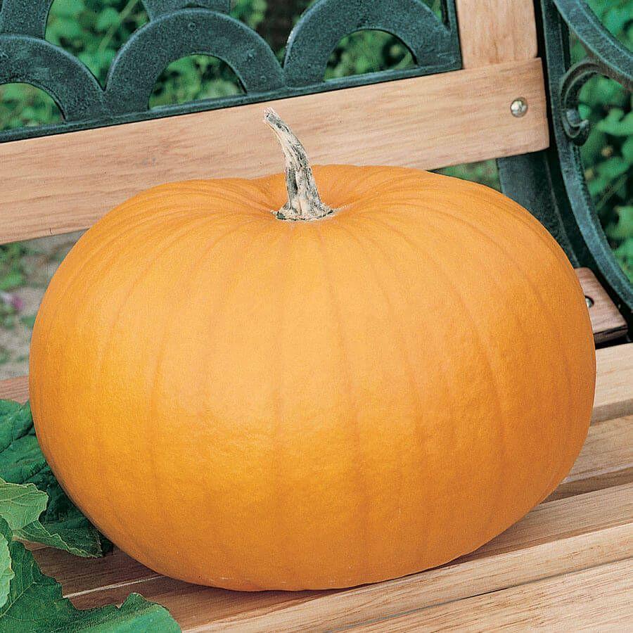 Connecticut Field OP Pumpkin Seeds Image