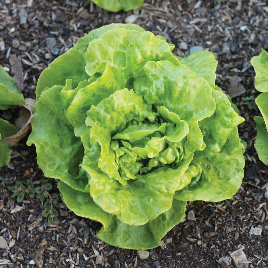 Tom Thumb Butterhead Lettuce Seeds Image