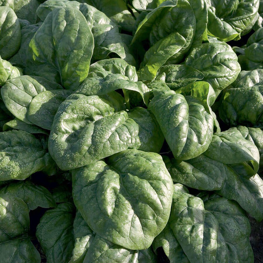 Space F1 Organic Spinach Image