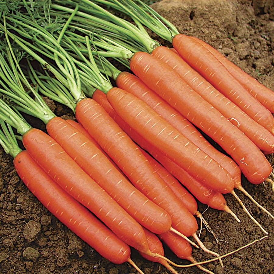 Carrot. Varieties for food, storage and processing 60