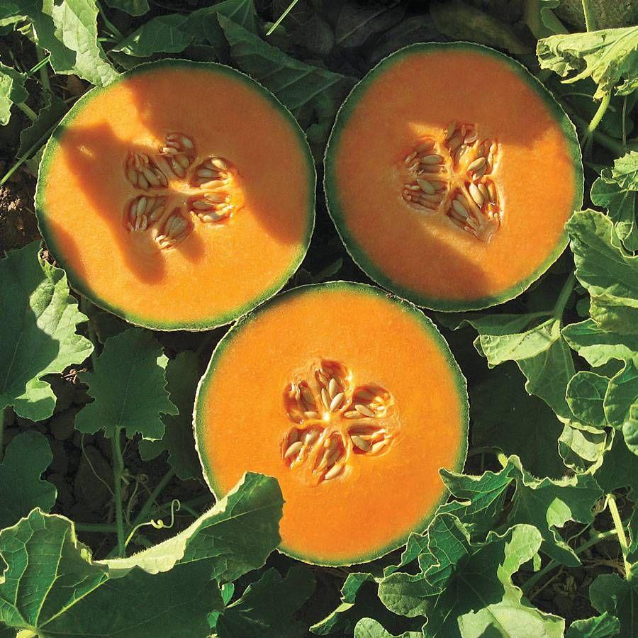 Lilliput Hybrid Melon Cantaloupe Seeds Image