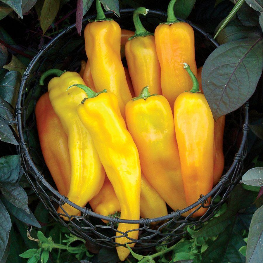 Mama Mia Giallo Hybrid Sweet Pepper Seeds Image