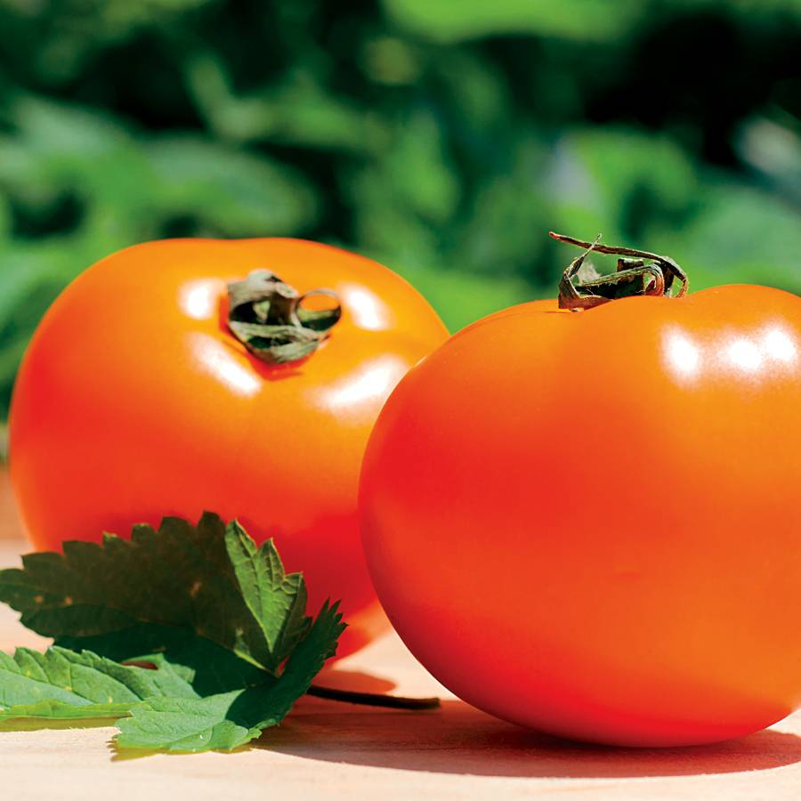 Chef's Choice Orange Hybrid Tomato Seeds