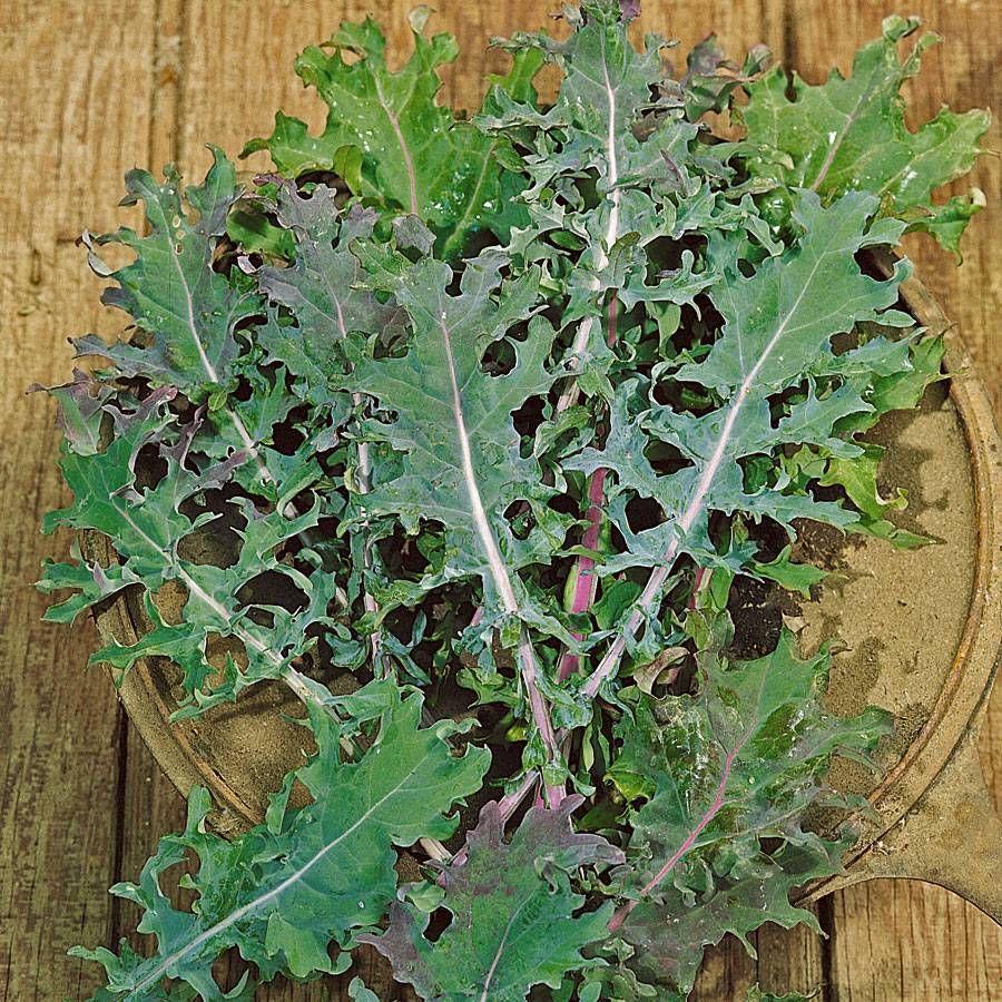 Russian Blend Kale Seeds Image