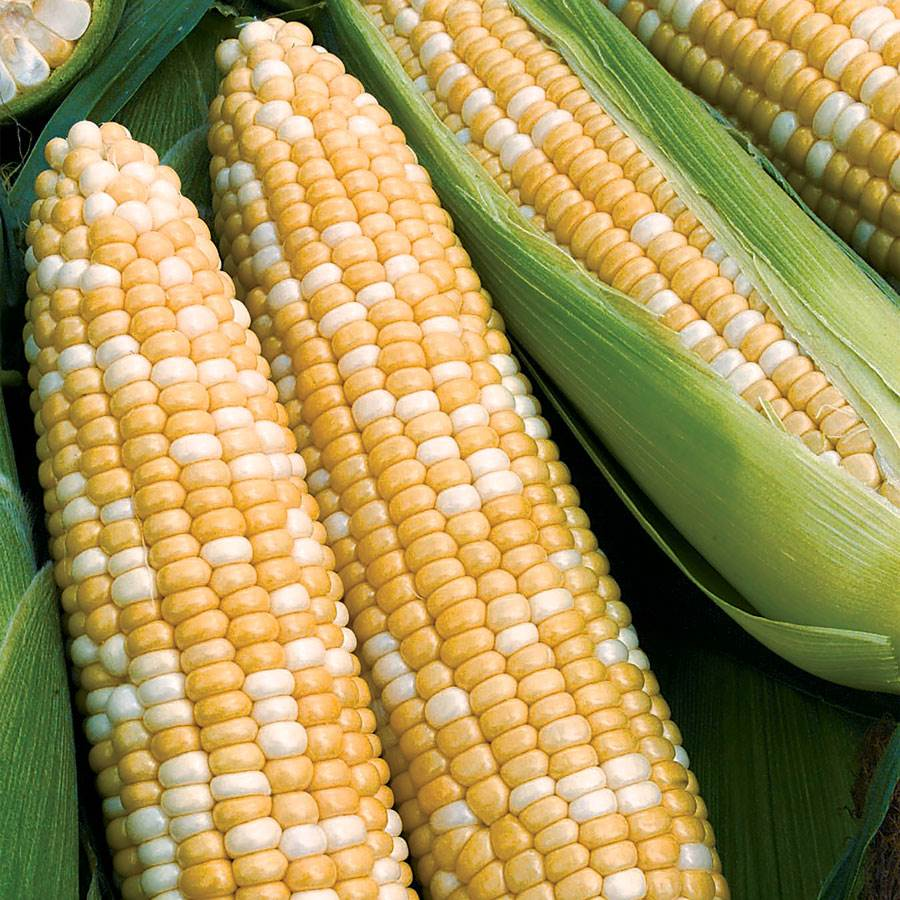 How many days until corn matures