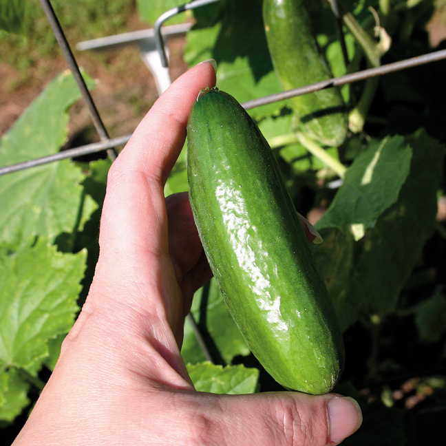 How long does it take for cucumbers to mature #4