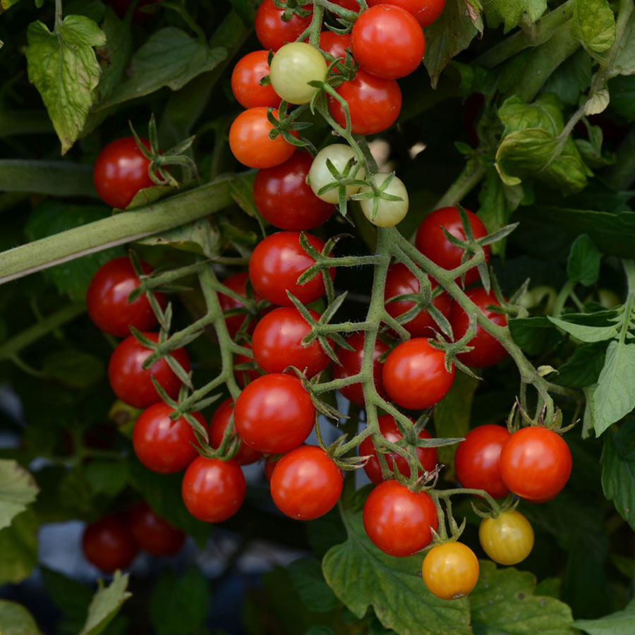 89a23b0a614fb Candyland Red Hybrid Tomato Seeds from Park Seed
