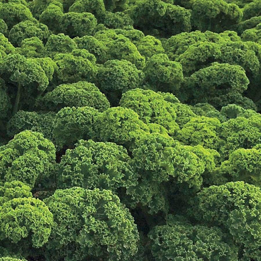 Prizm Hybrid Kale Seeds Image