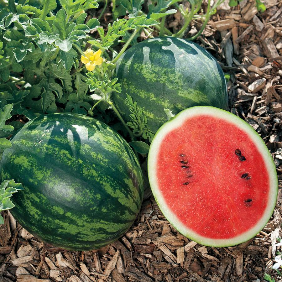 Mini Love Hybrid Watermelon Seeds From Park Seed