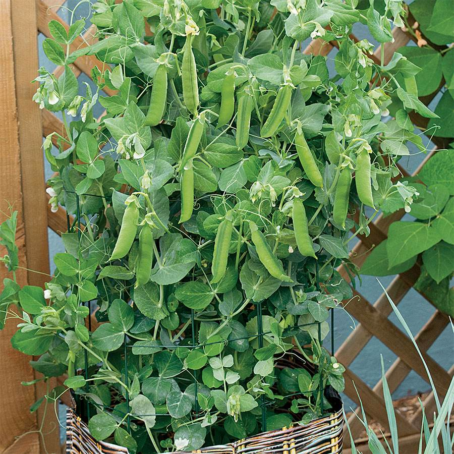 Patio Pride Pea Seeds