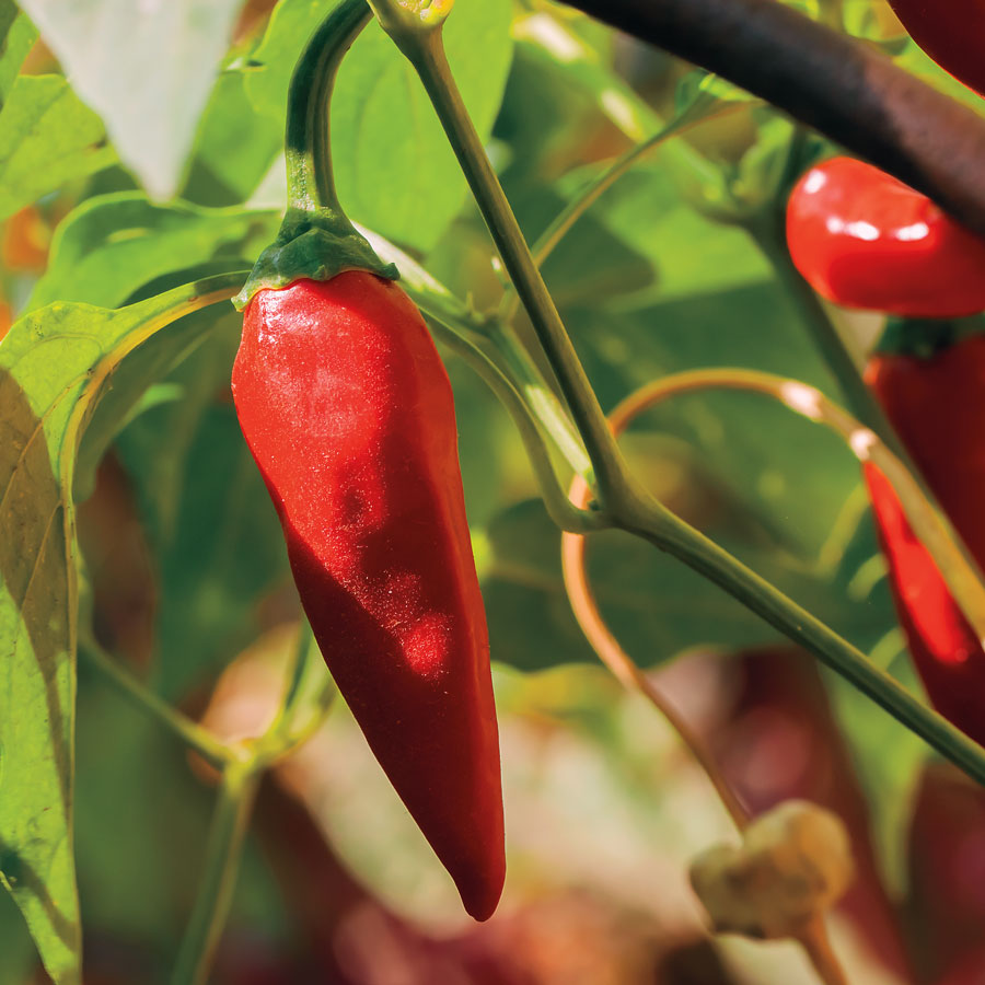 Tabasco Pepper Seeds From Park Seed