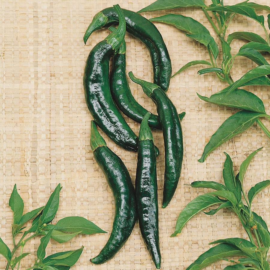 Pasilla Bajio Pepper Seeds From Park Seed