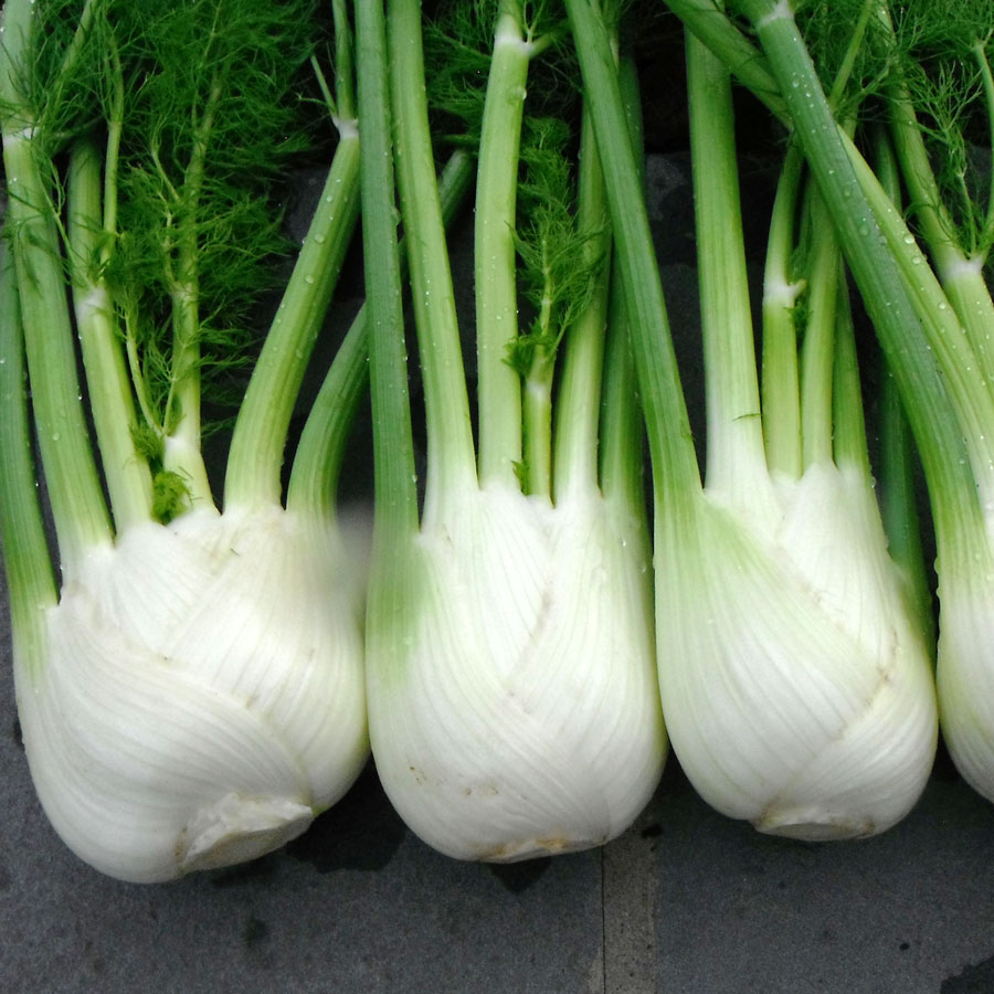 antares hybrid fennel seeds from park seed