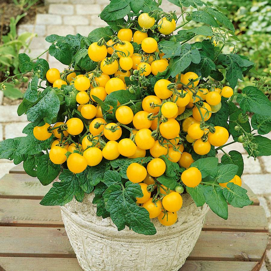 Patio Choice Yellow Hybrid Tomato Seeds From Park Seed