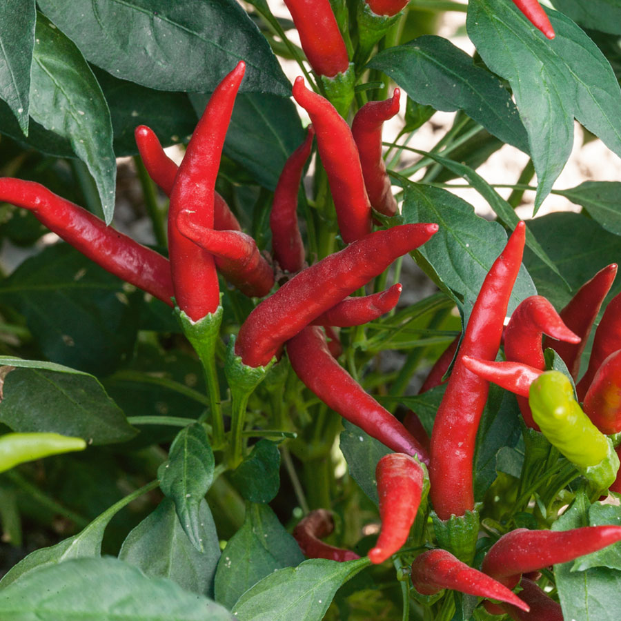 Thai Super Chili Hybrid Pepper Seeds From Park Seed