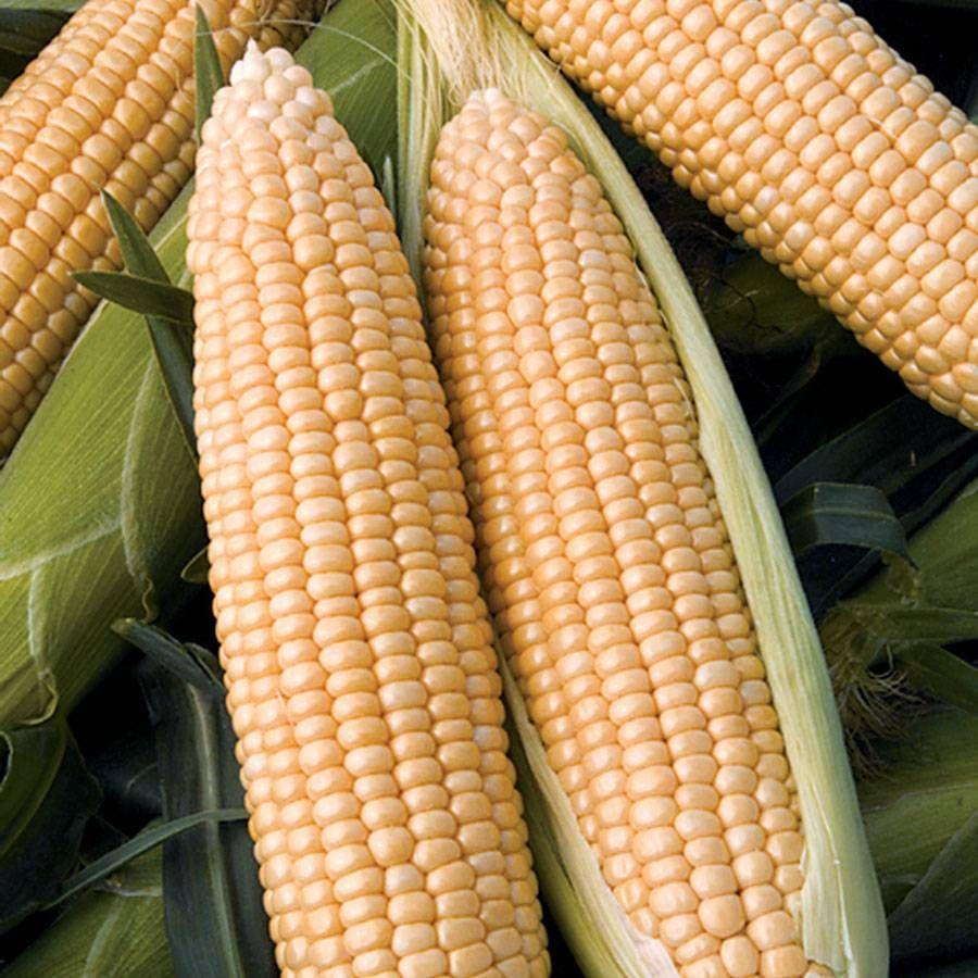 Passion Hybrid Sweet Corn Seeds Image