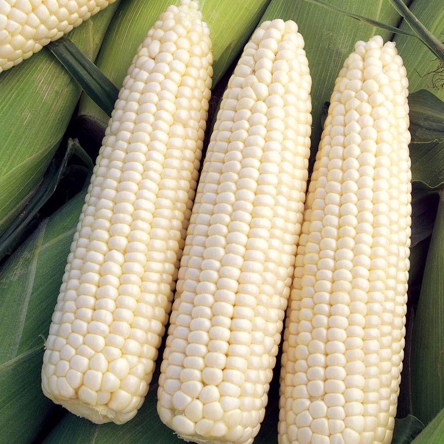 Devotion Hybrid Sweet Corn Seeds Image