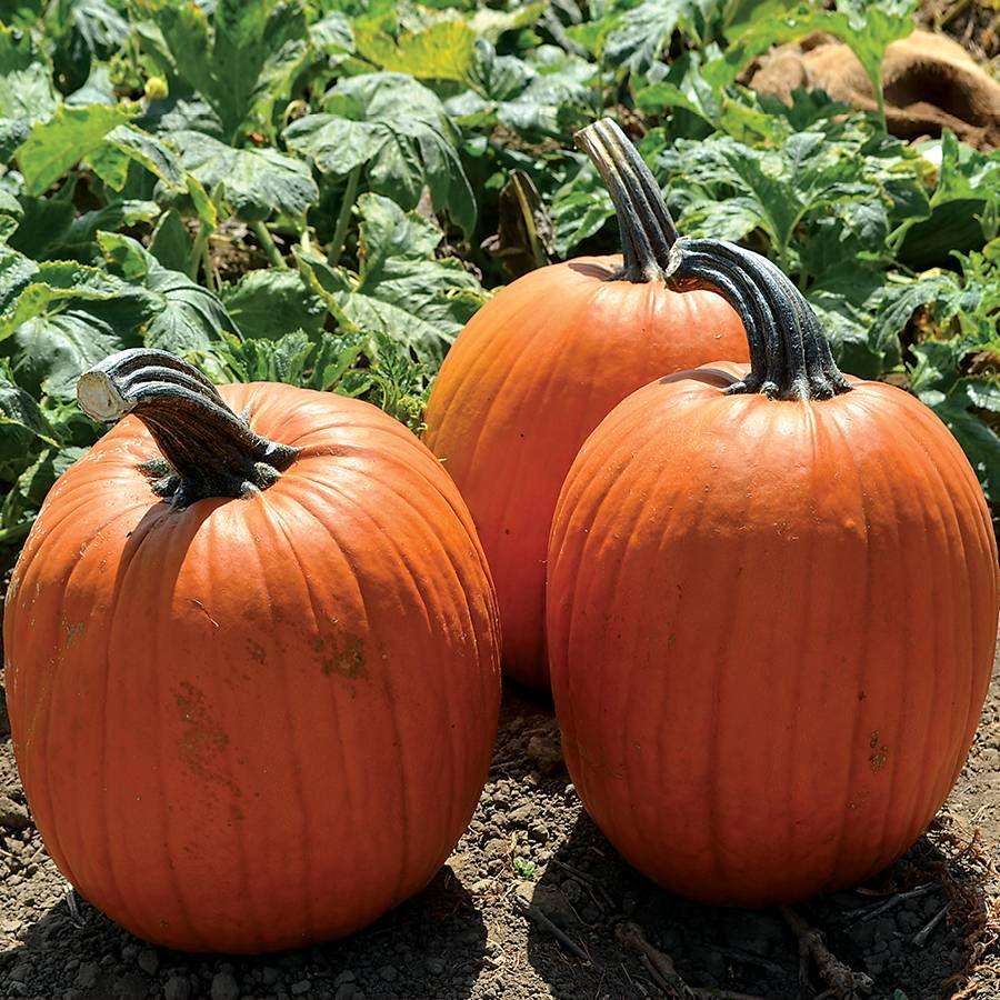 Large Marge Hybrid Pumpkin Seeds Image