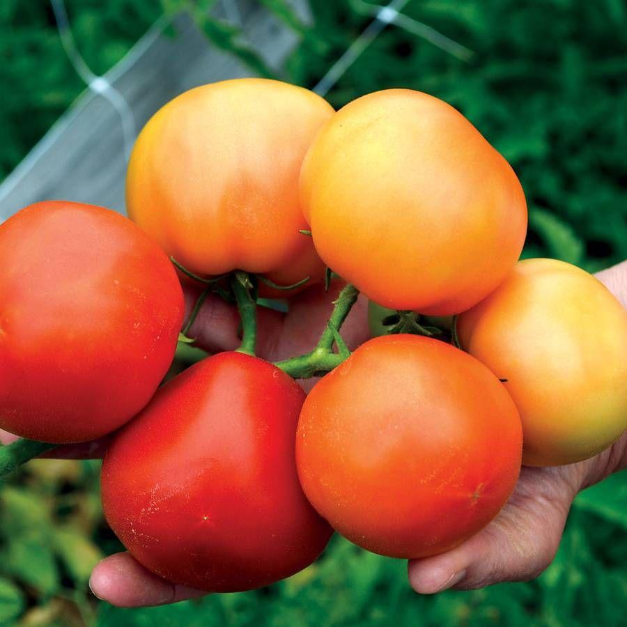 Carmello Hybrid Tomato Seeds Image