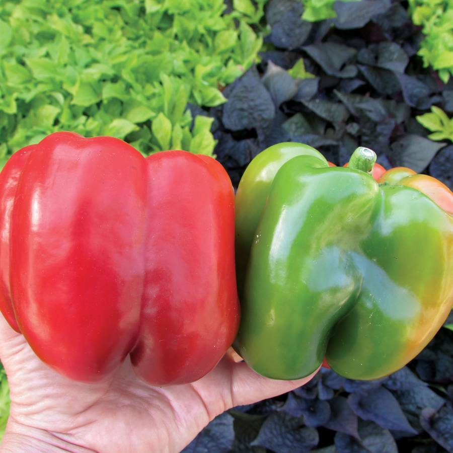 Recovery Hybrid Pepper Seeds Image