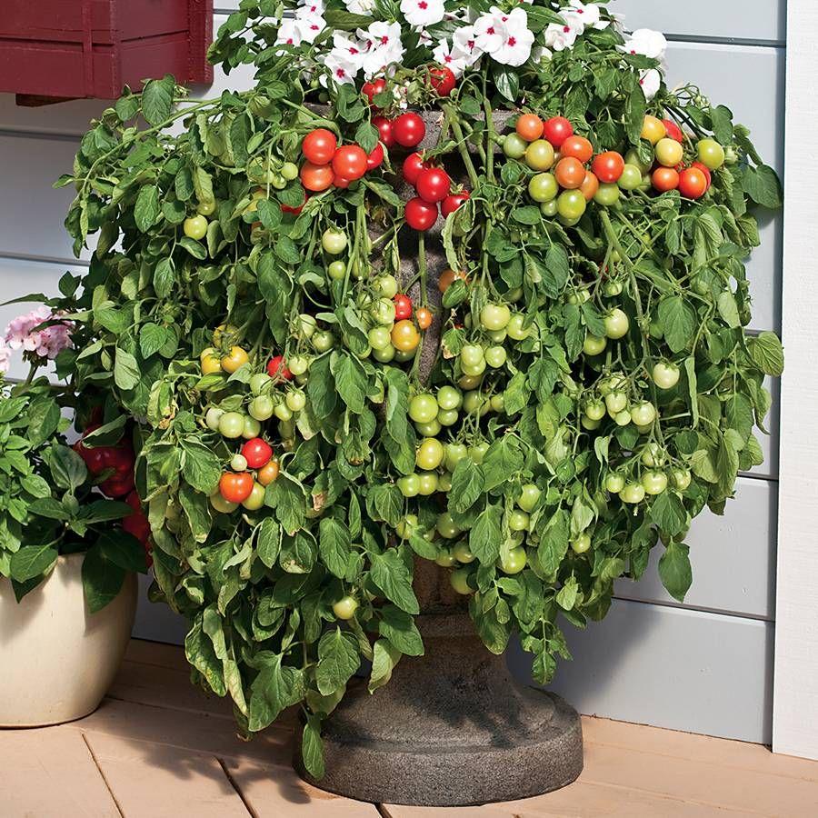 Cherry Fountain Tomato Seeds Image