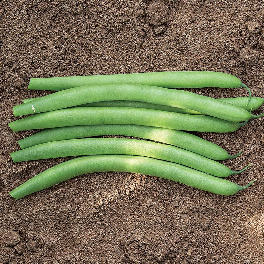 Antigua Organic Bush Bean Seeds Image