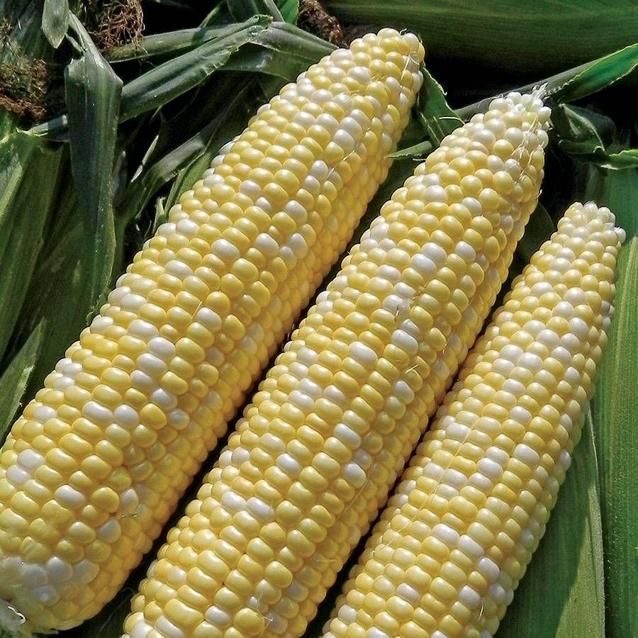 Allure (bicolor) Sweet Corn Seeds Image
