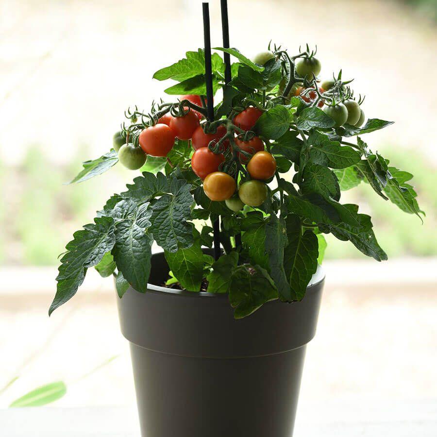 Red Velvet Cherry Tomato Seeds Image