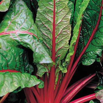 Ruby Red Swiss Chard from Park Seed