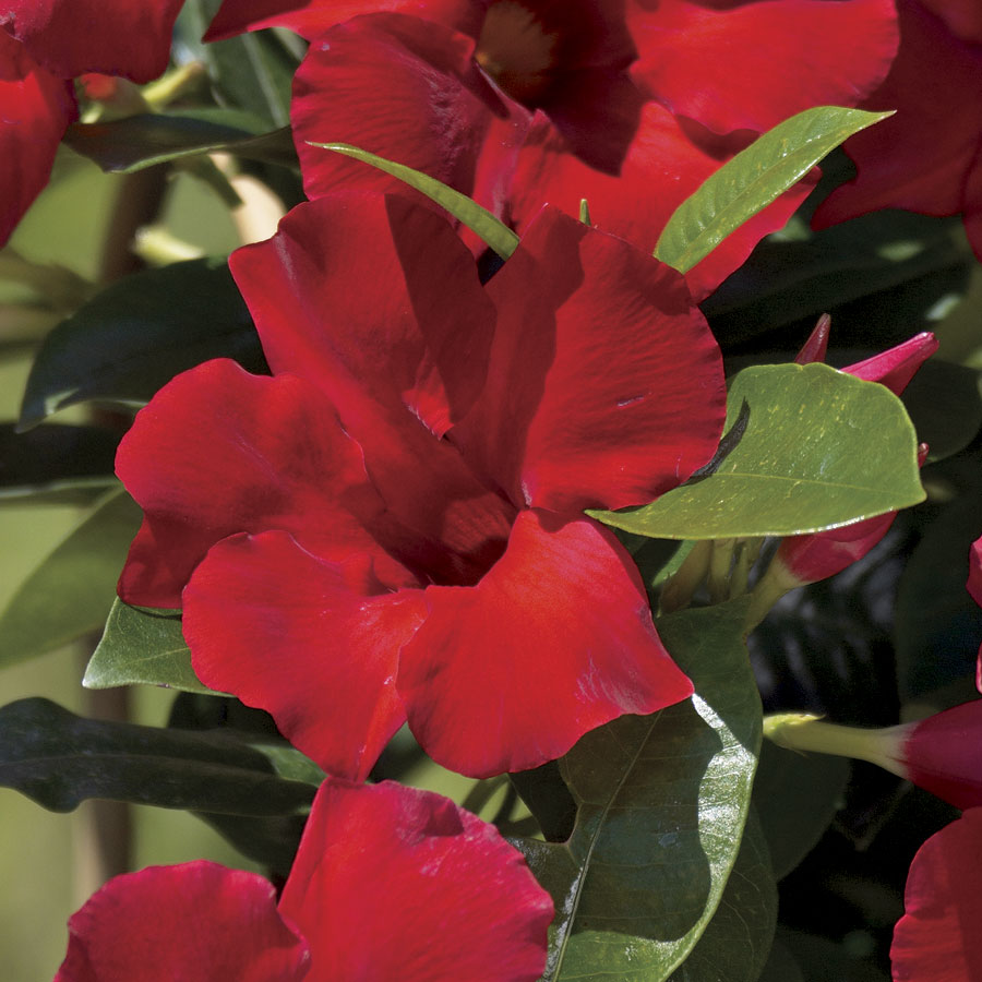 Sun Parasol Giant Crimson Mandevilla From Park Seed