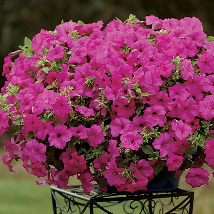 Petunia Surfinia® Sumo Pink (pack of 3) Image
