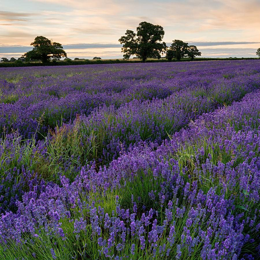 Park's Lavender Seed Collection Image