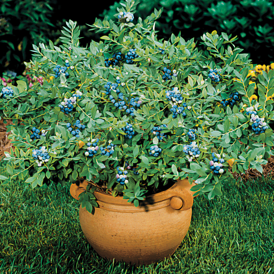 Sunshine Blue Dwarf Blueberry From Park Seed