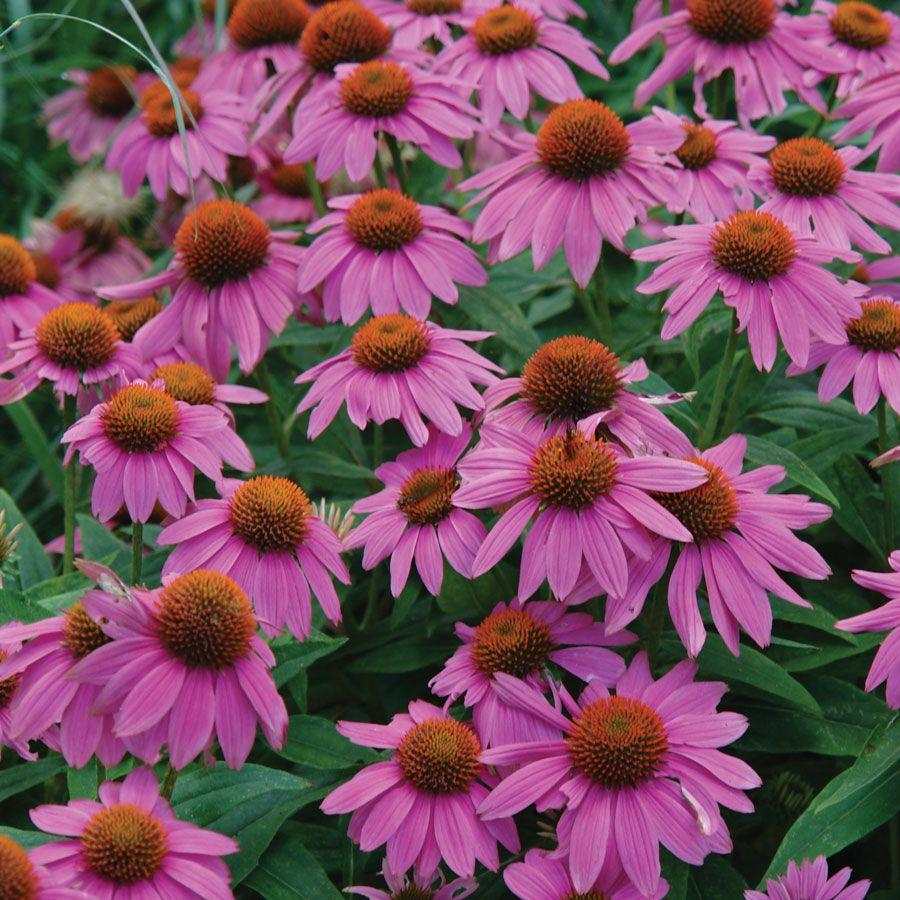 PowWow® Wild Berry Coneflower Image