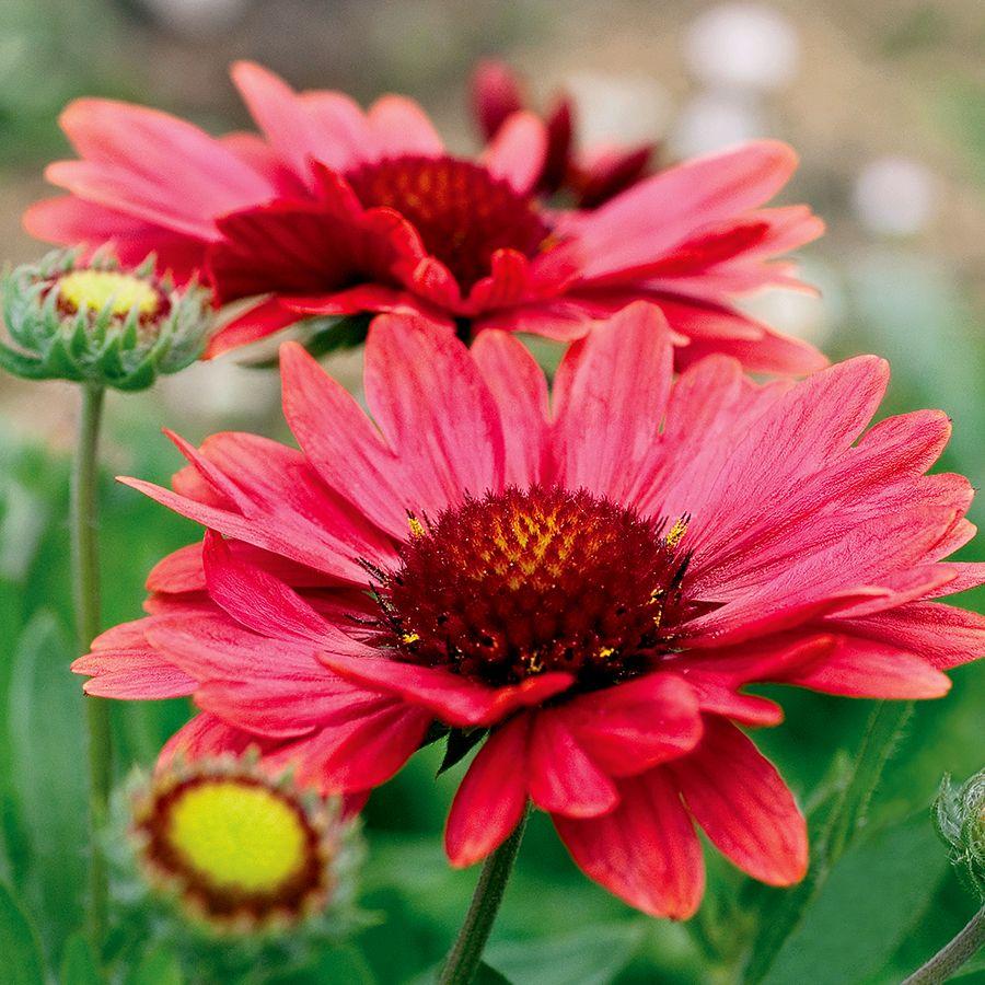 Gaillardia 'Arizona Red Shades' Image