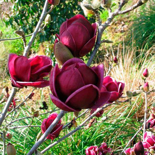 Magnolia 'Genie' Image
