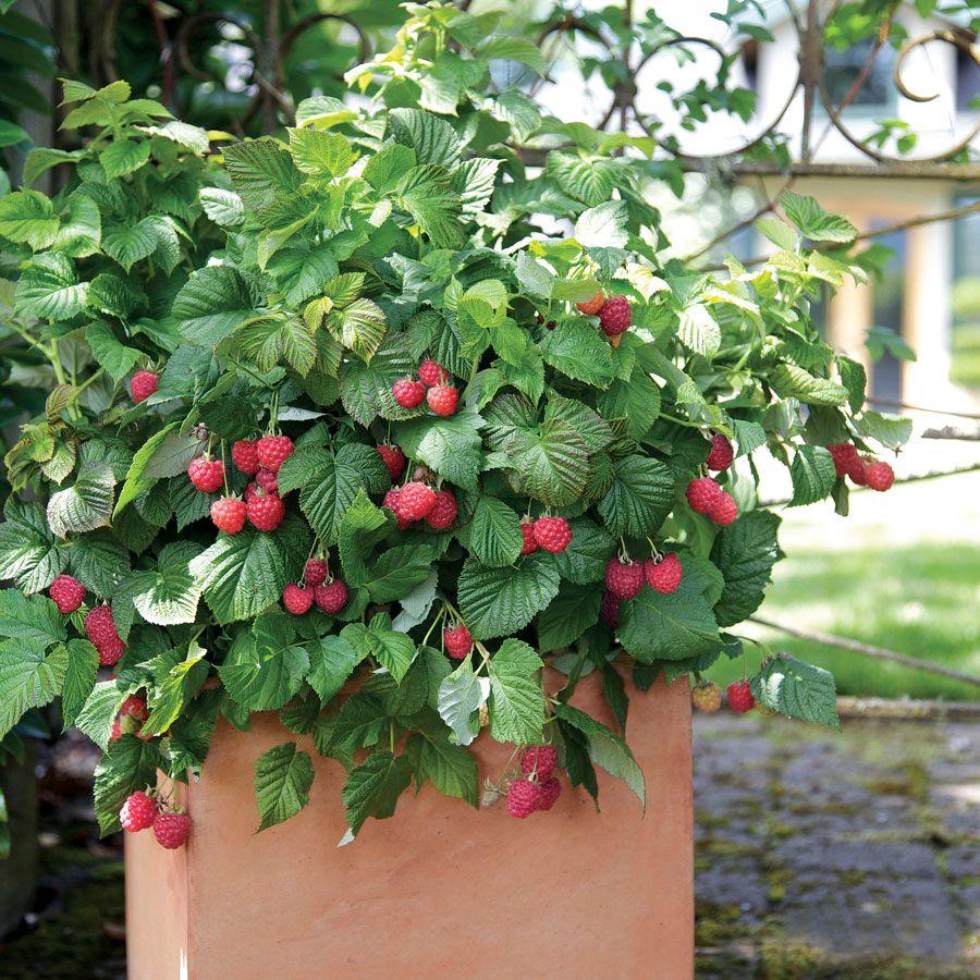Bushel and Berry® Raspberry Shortcake® Image