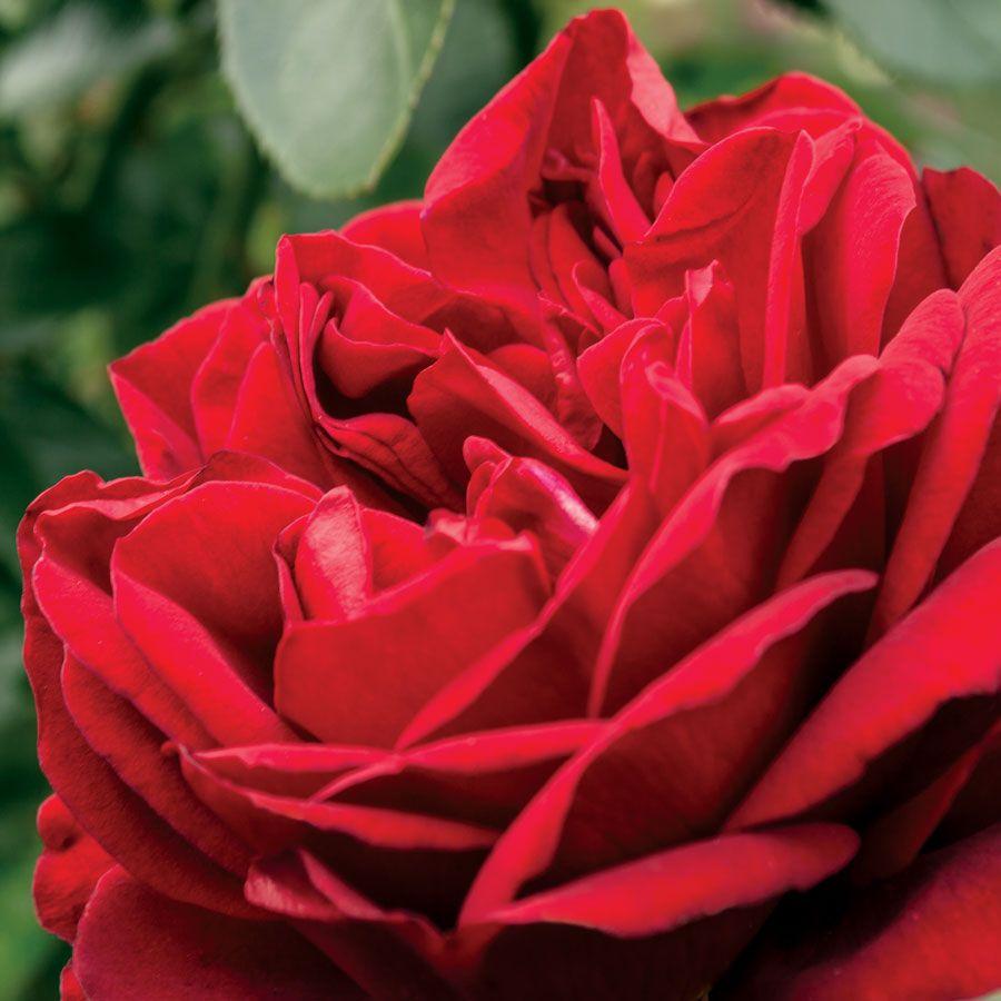 Desmond Tutu Sunbelt® Floribunda Rose Image