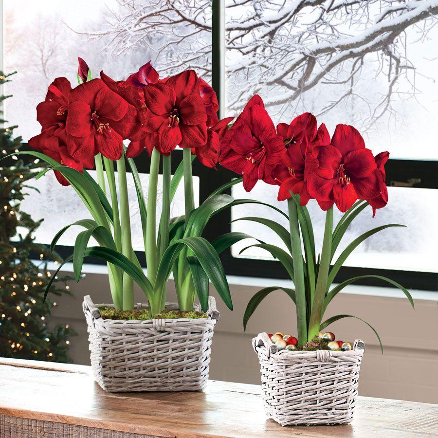 Charming christmas amaryllis gift for Bulbes amaryllis conservation