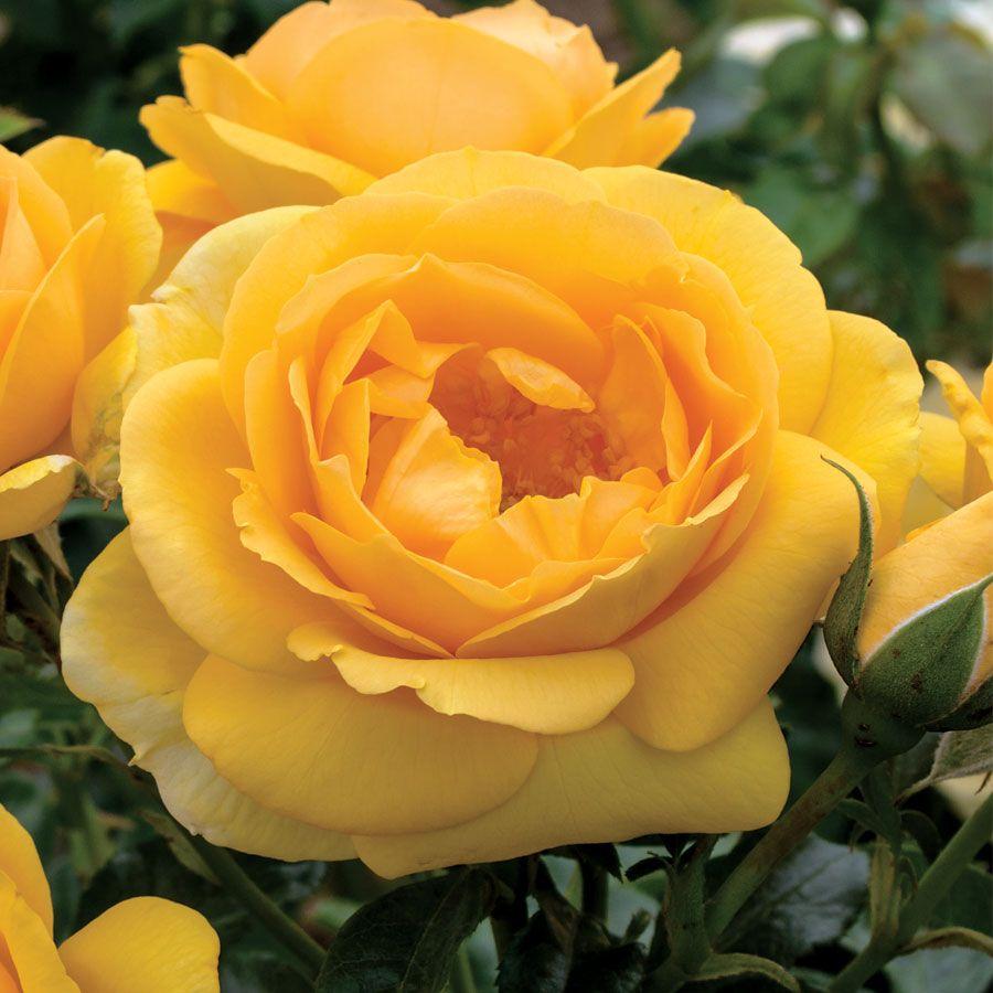 Soaring to Glory Floribunda Rose Image