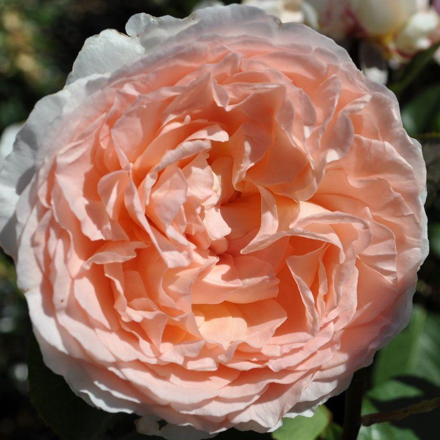 Bliss Parfuma® Grandiflora Rose Image
