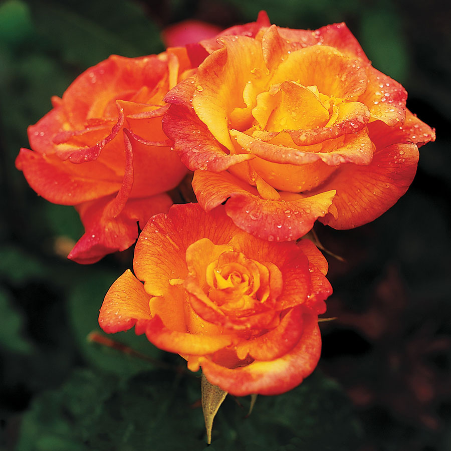 Rio Samba Hybrid Tea Rose Image