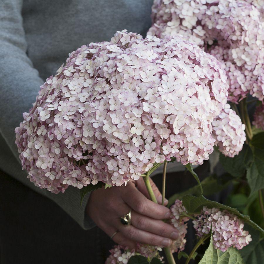 Hydrangea Incrediball® Blush Image